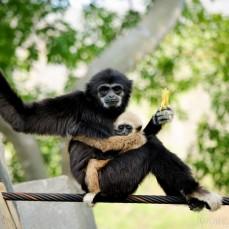Gibbons Mae Hong Son Loop